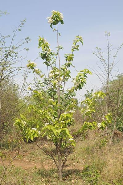 младо дърво холарена