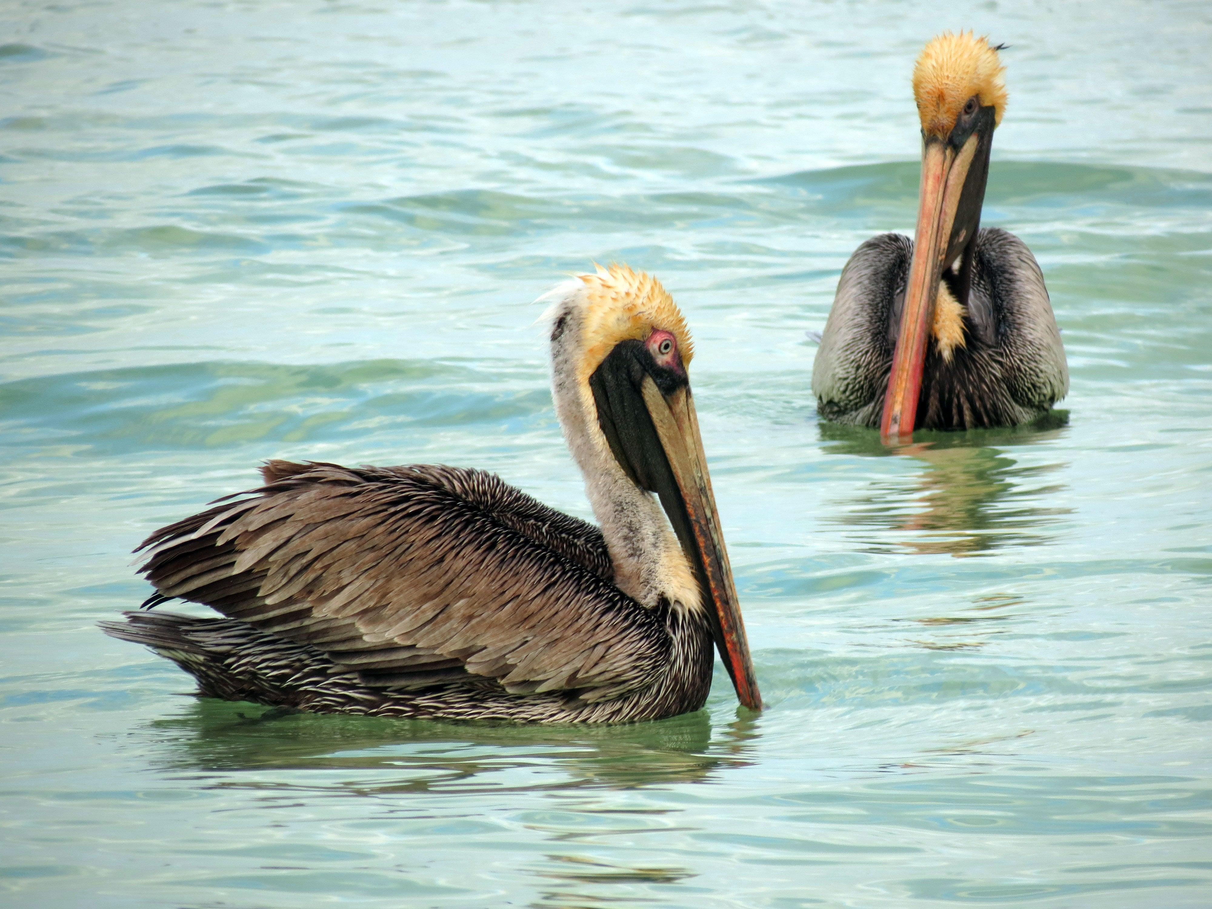 Кафяви пеликани