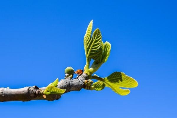 Как да си прихванем смокиня от резница