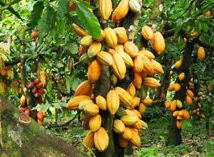 какаови плодове