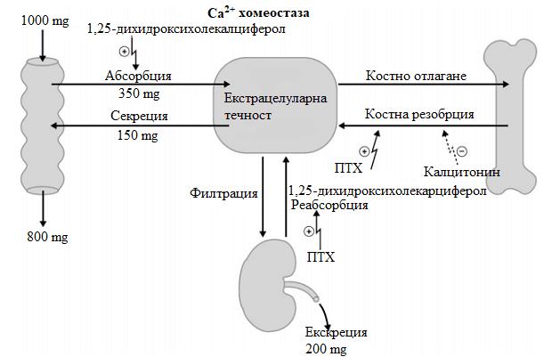калциева хомеостаза