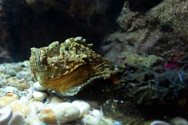 Каменна риба