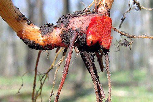 корен на сангвинария
