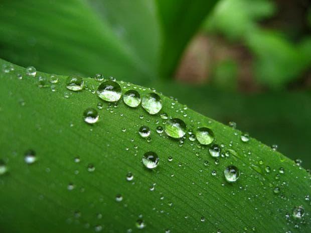 капчици дъжд по лист на момина сълза