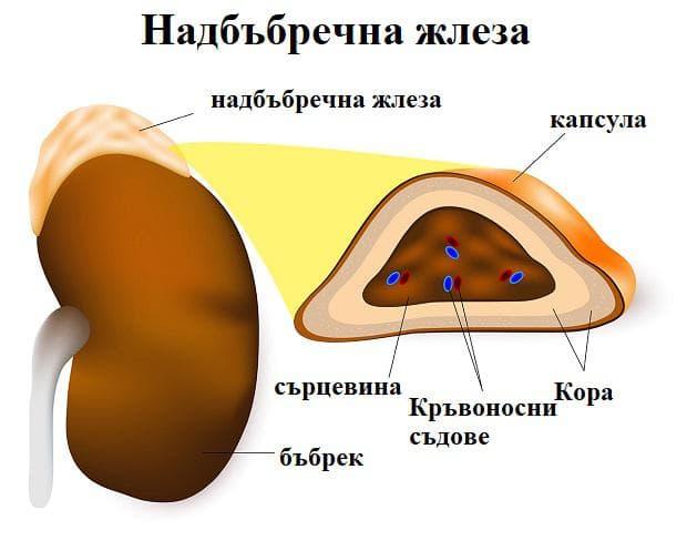 структура на надбъбречната жлеза