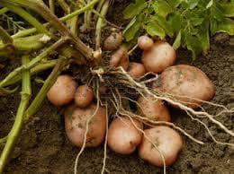 Картоф-растение и грудки