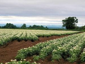 картофени насаждения