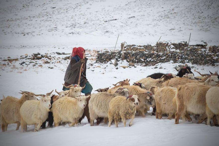 Популацията на пашминската коза е застрашена
