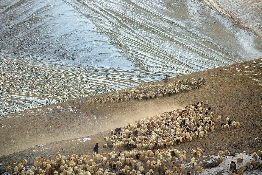 Животът на номадите, отглеждащи кашмирените кози не е никак лесен