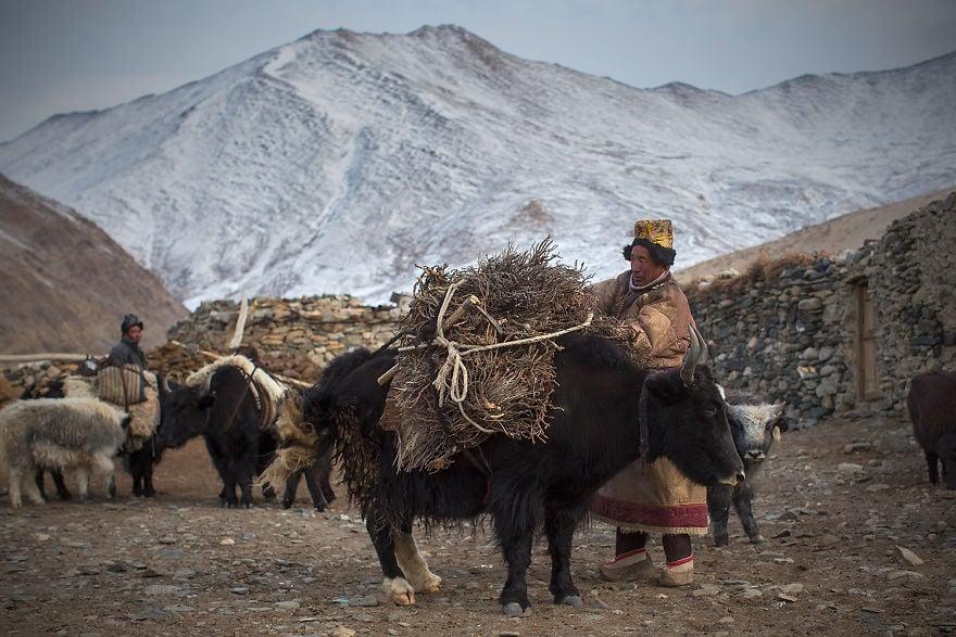 Пастир на пашминени кози