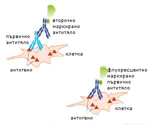 marked antibodies