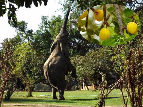 слон яде плодове на марула