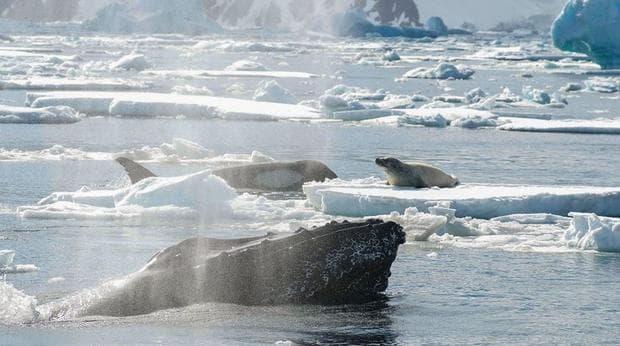 Гърбат кит нападат косатки, които атакуват други морски животни.