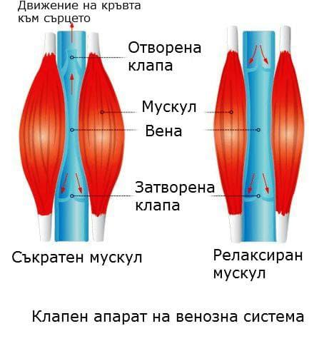 Клапена апарат на вените