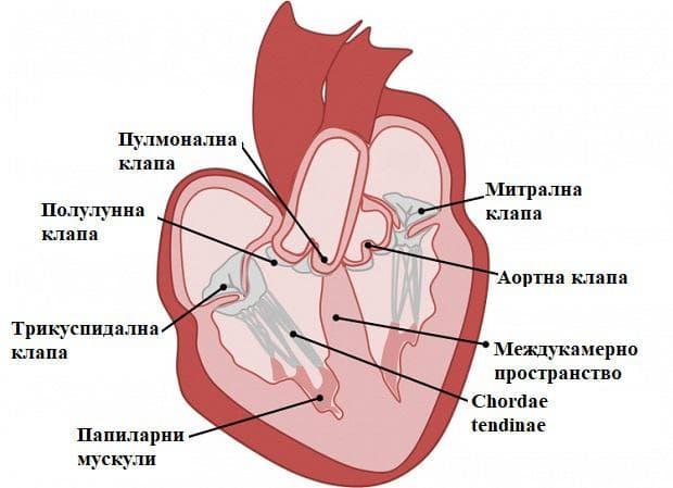 сърдечни клапи