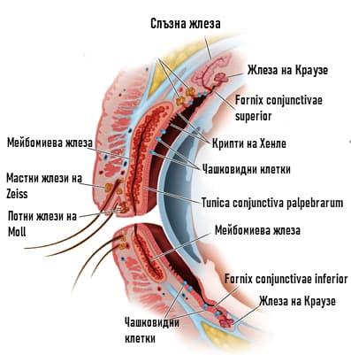 Структура на клепачите