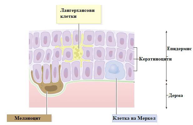 клетки на епидермиса