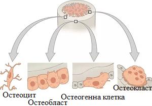 клетки на костта
