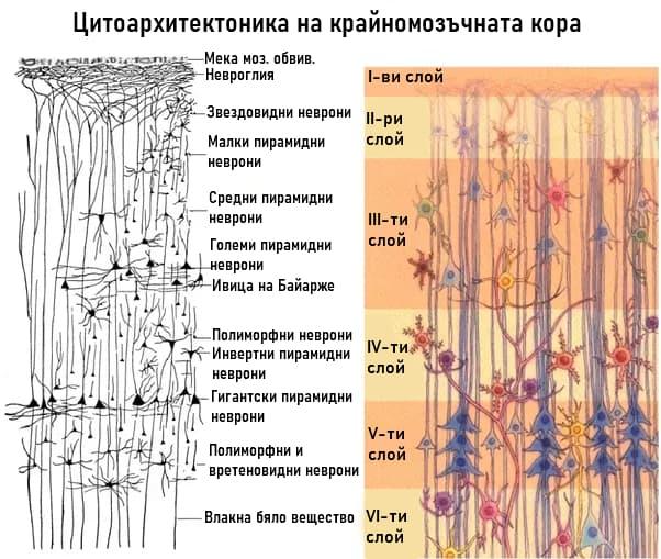 Клетки и слоеве на крайномозъчната кора