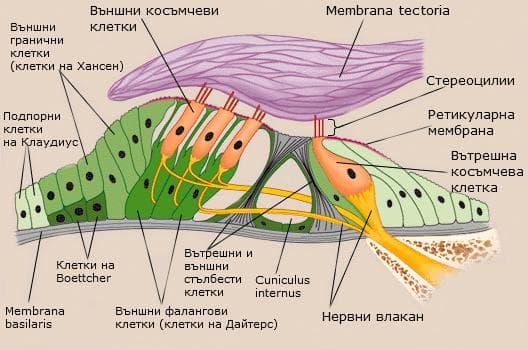 Клетки на Кортиевия орган