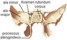 клиновидна кост