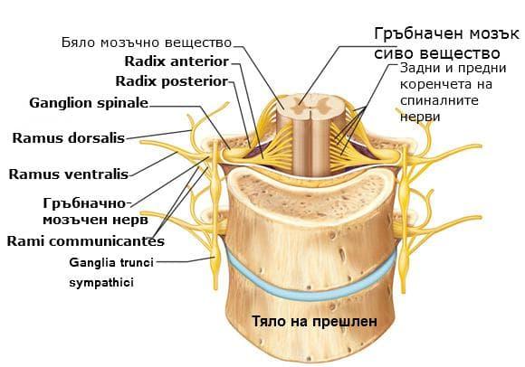 Устройство на гръбначномезъчен нерв