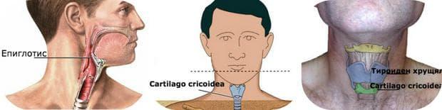 Епиглотис, cartilago cricoidea, тироиден хрущял