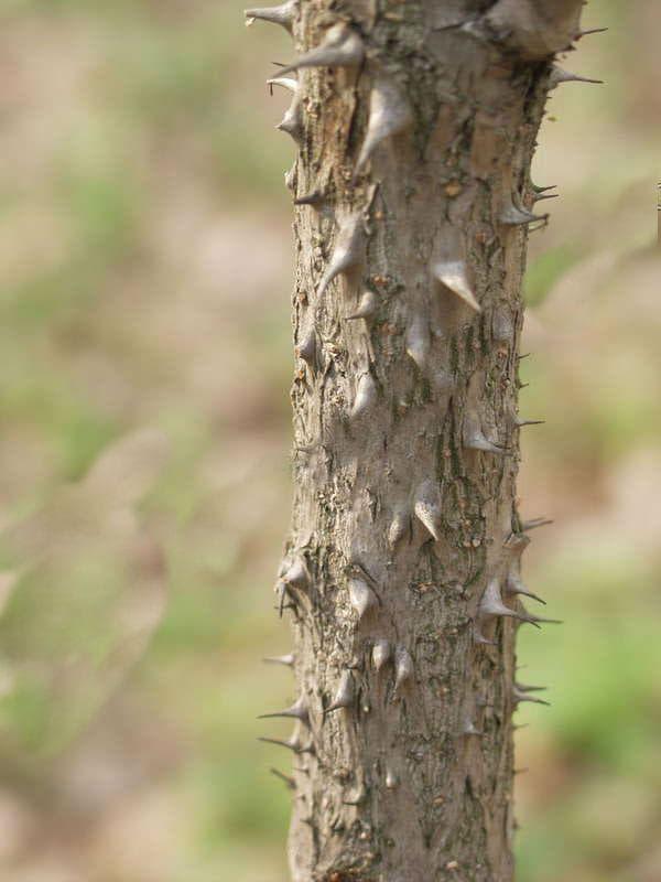 кора на аралия