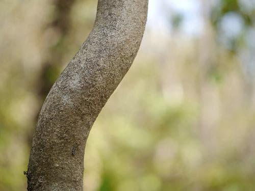 стъбло на целаструс