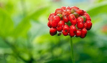 плодове на азиатски женшен