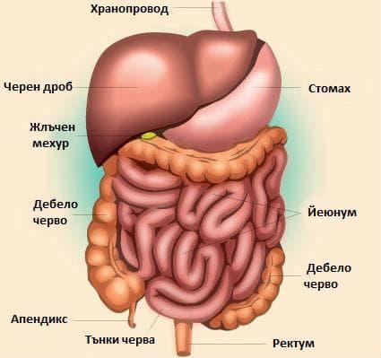 Коремни органи