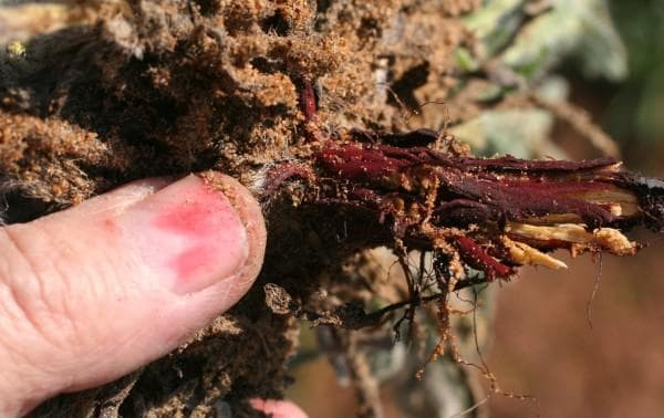 корен на айважива