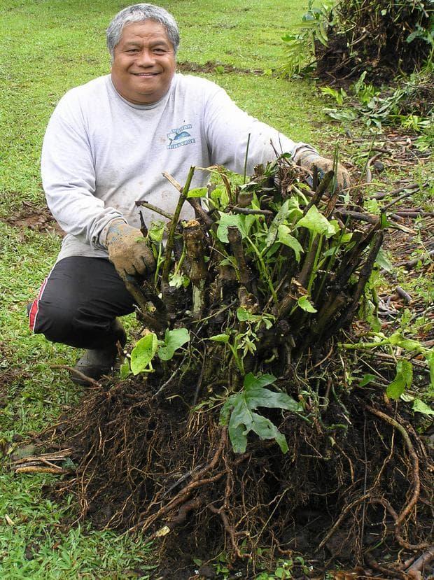 корени на кава-кава