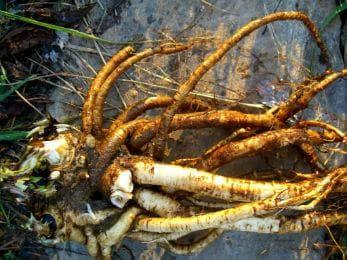 корен на оман