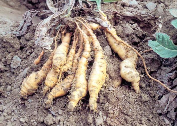 корени на ремания