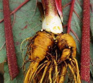 корен от ревен