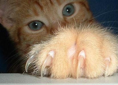 Котешкият нокът има шипове, които са извити точно като ноктите на котка