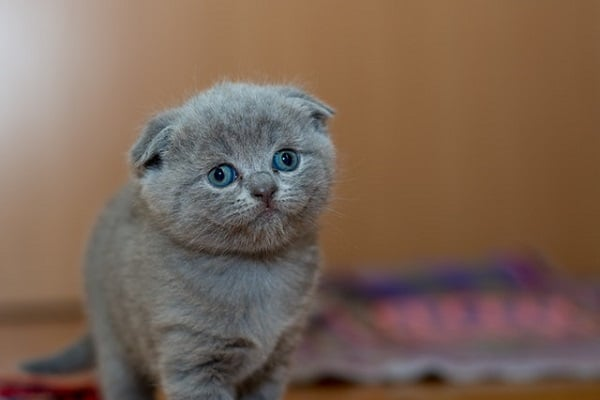 котка британска късокосместа