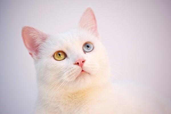 котка с различни очи