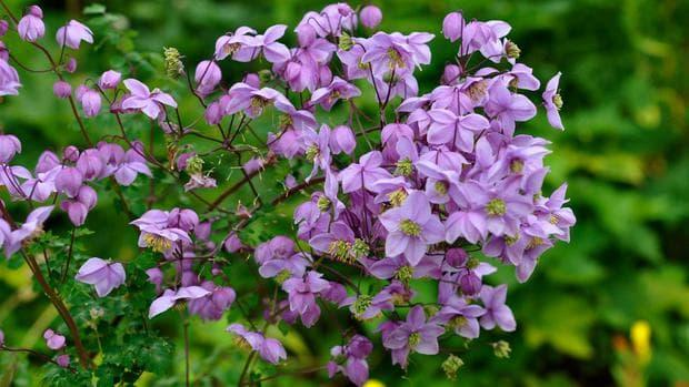 цветя на таликтрим делавей