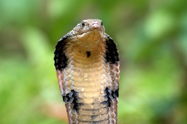 Кралска кобра