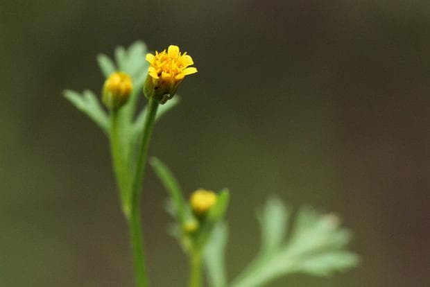 кризантелум растение