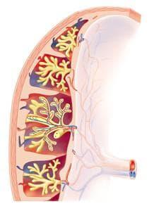 кръвоносни съдове на плацентата