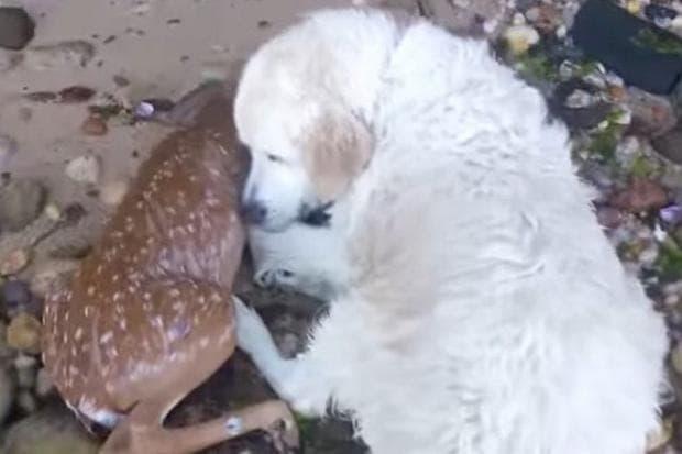 куче и сърна