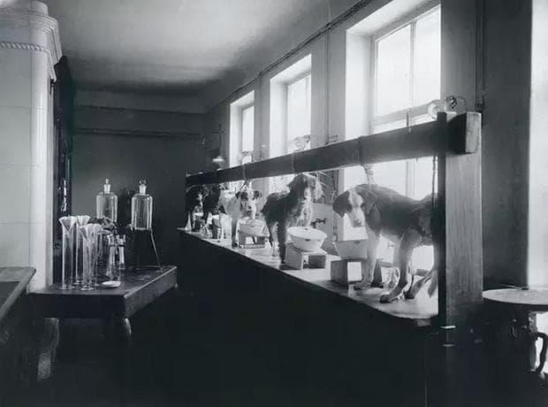 Експериментите на Иван Павлов с кучета, чиято цел е да докажат теорията му за класическото кондициониране.