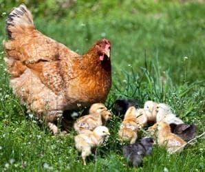 Кокошка и пилета