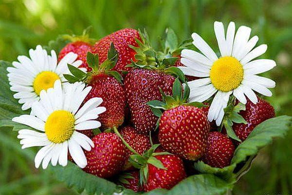 Лайка и ягоди