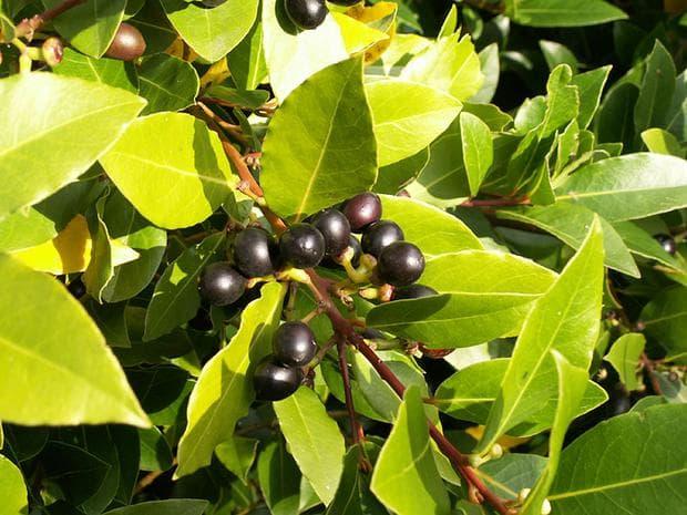 плодове на дафиново дърво