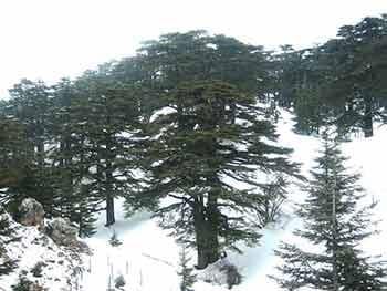ливански кедър през зимата