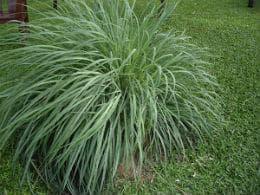 растение лимонена трева